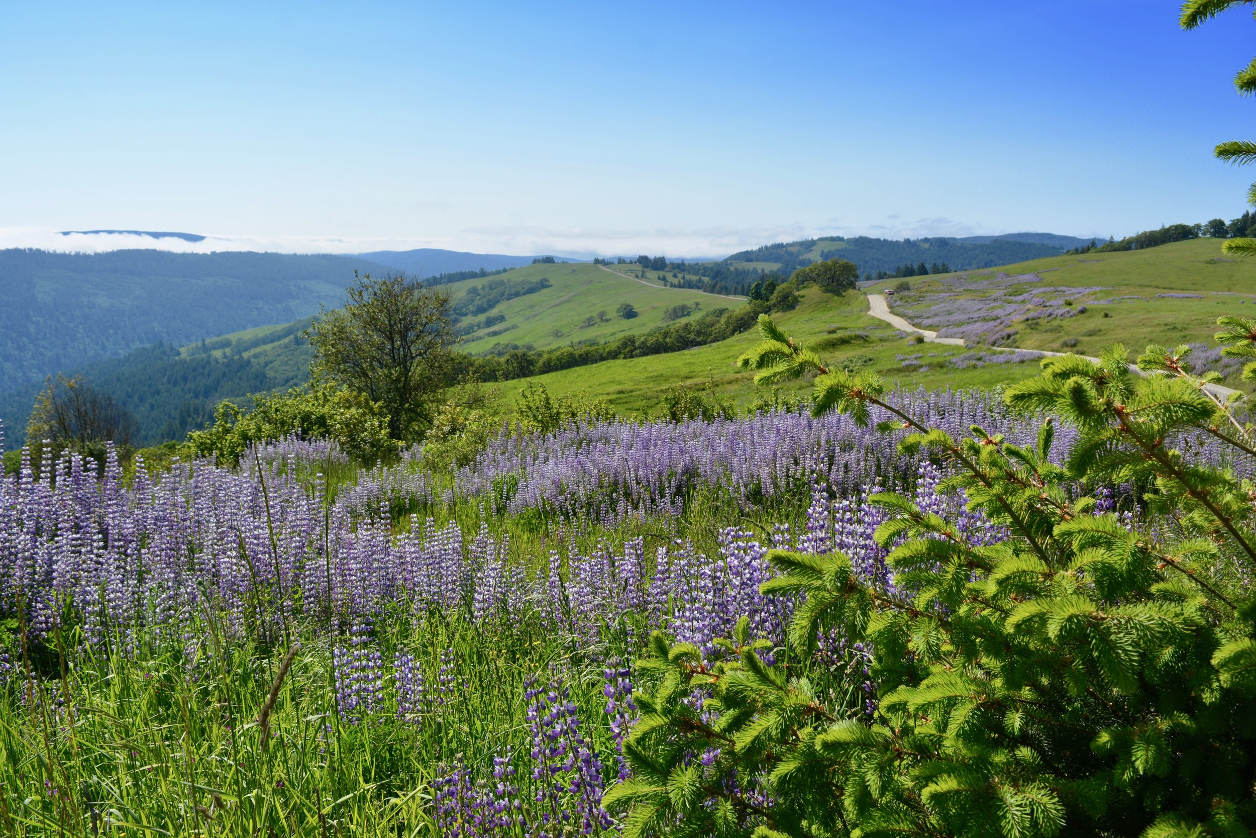 Lupine covered hills along the backroads of Redwood National Park