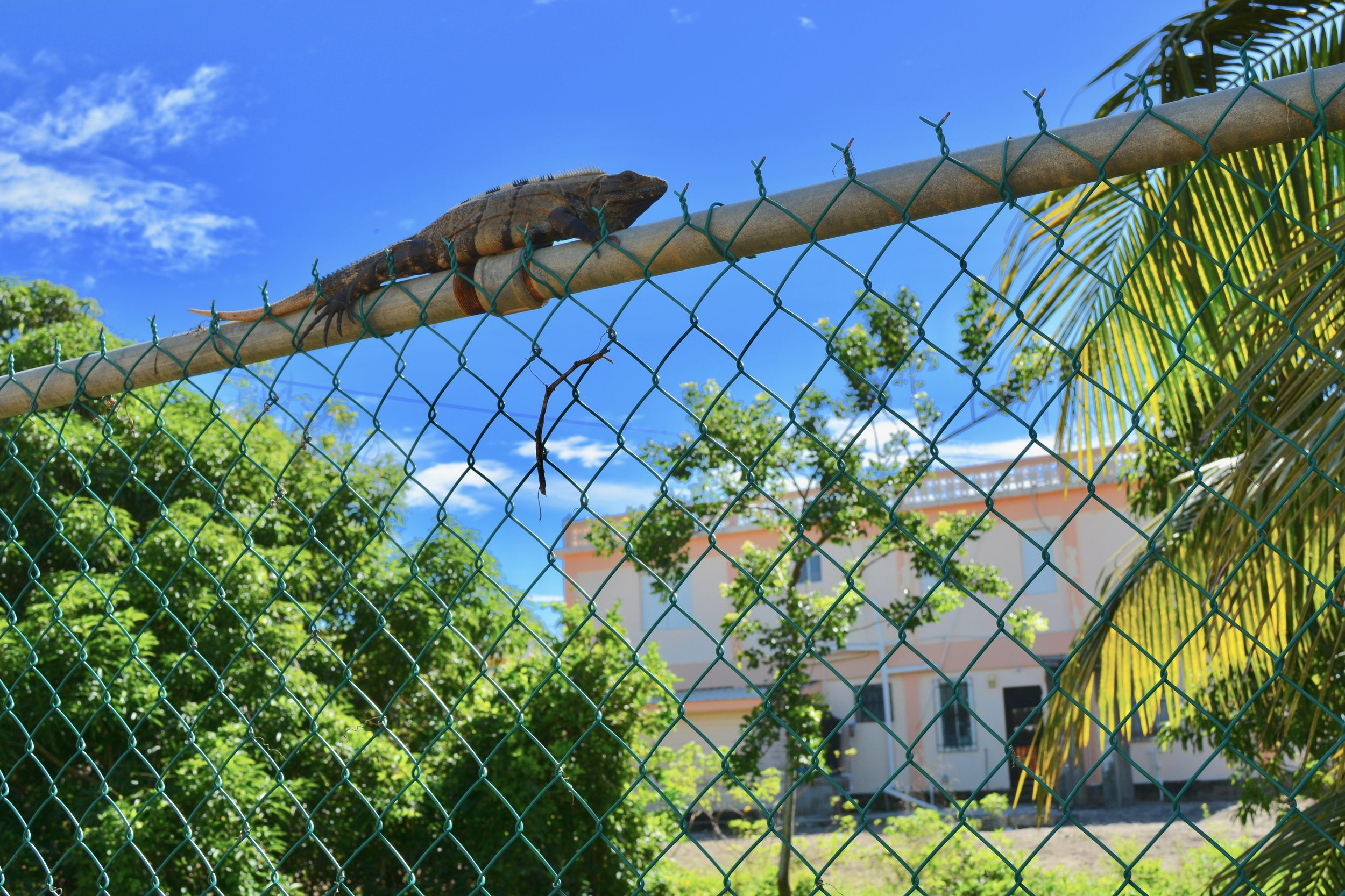 An iguana along the road in Hopkins