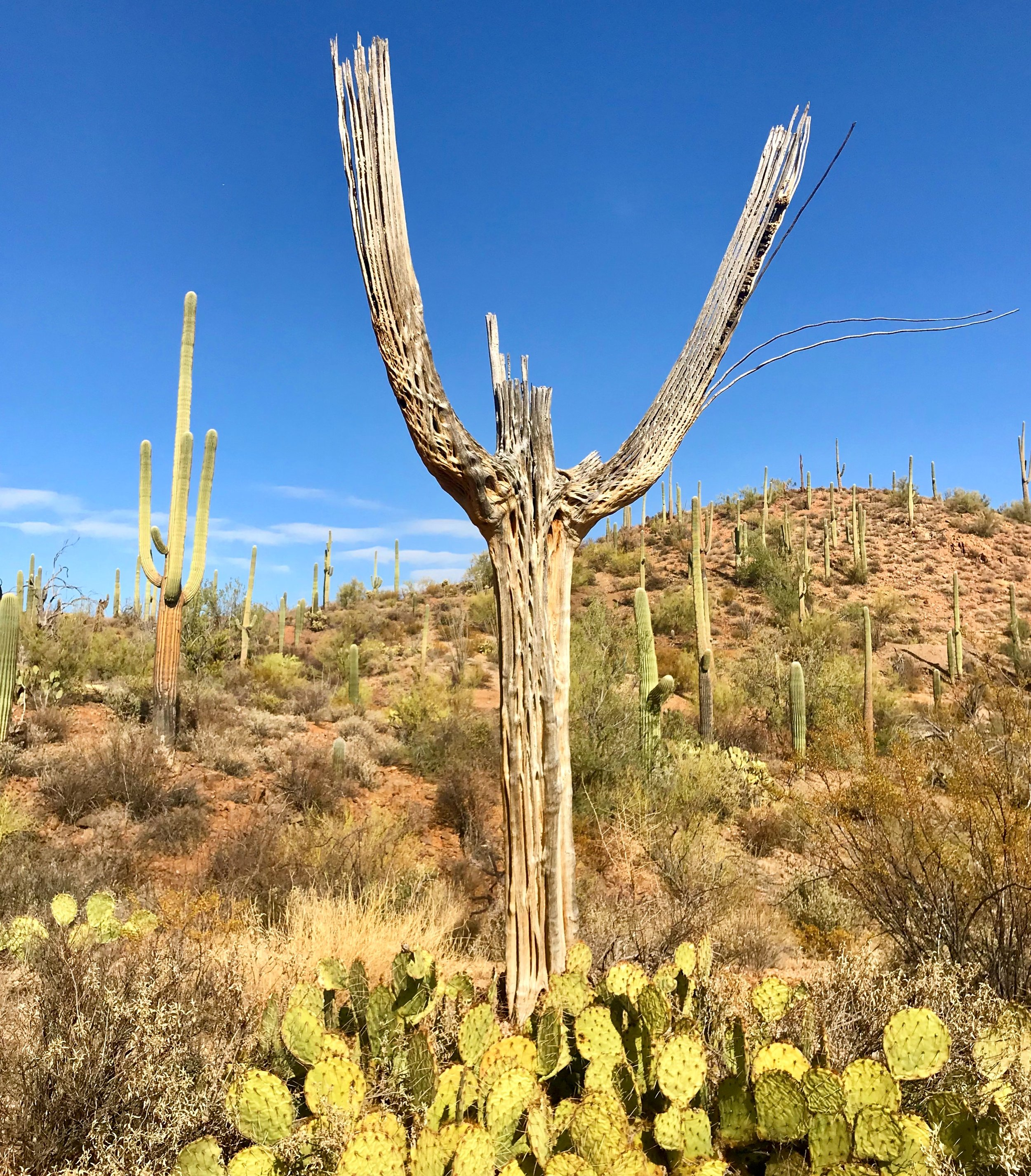 This saguaro cactus appears to rejoicing in the day, even in its afterlife