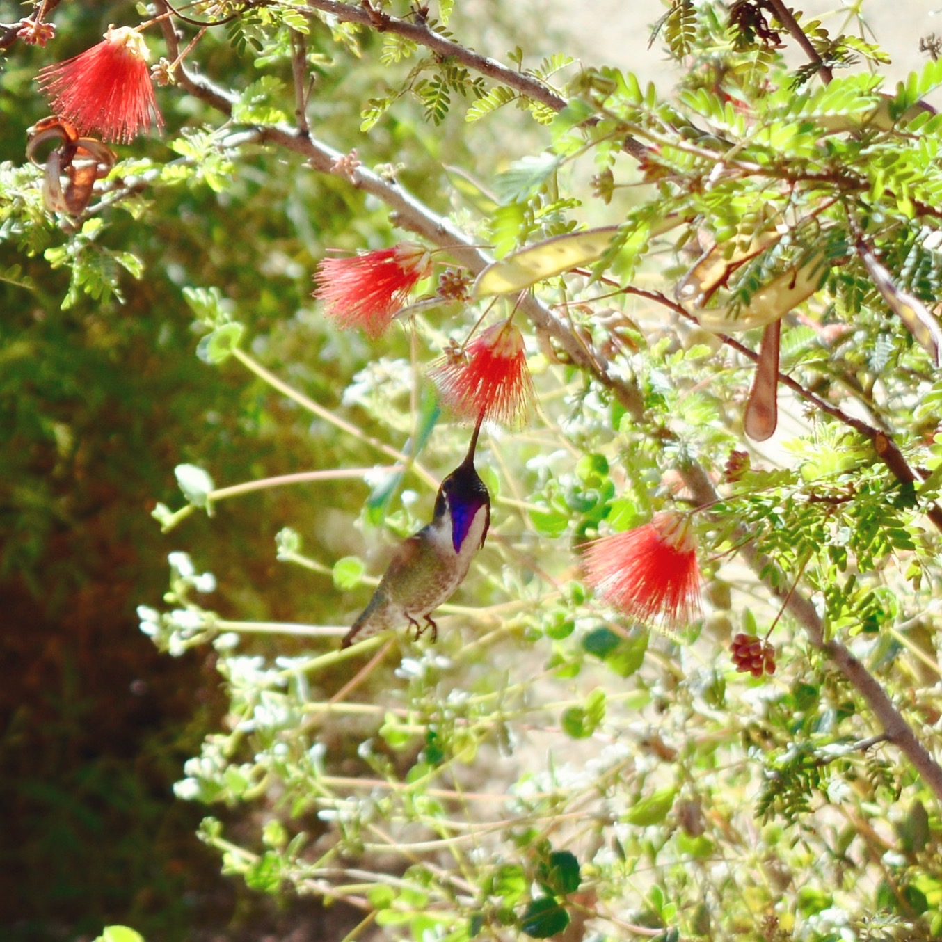 A hummingbird at  Tohono Chul Park