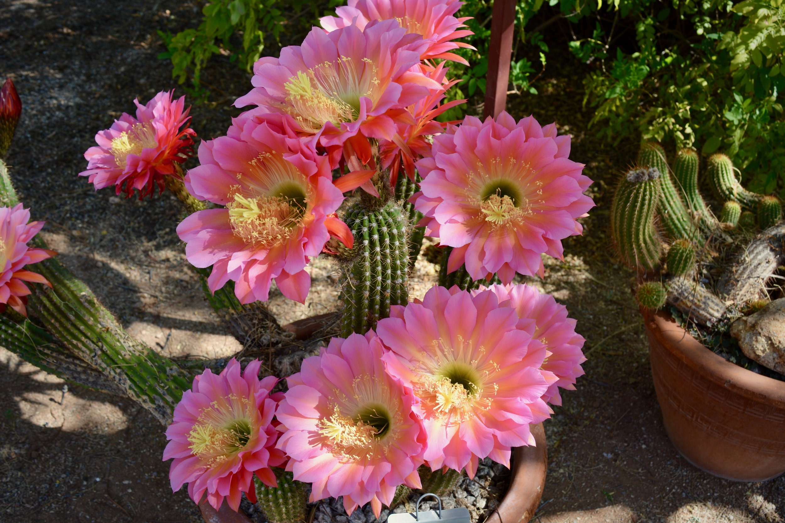 Some of these cactus flowers are just gigantic (photo from Tucson Botanical Garden)