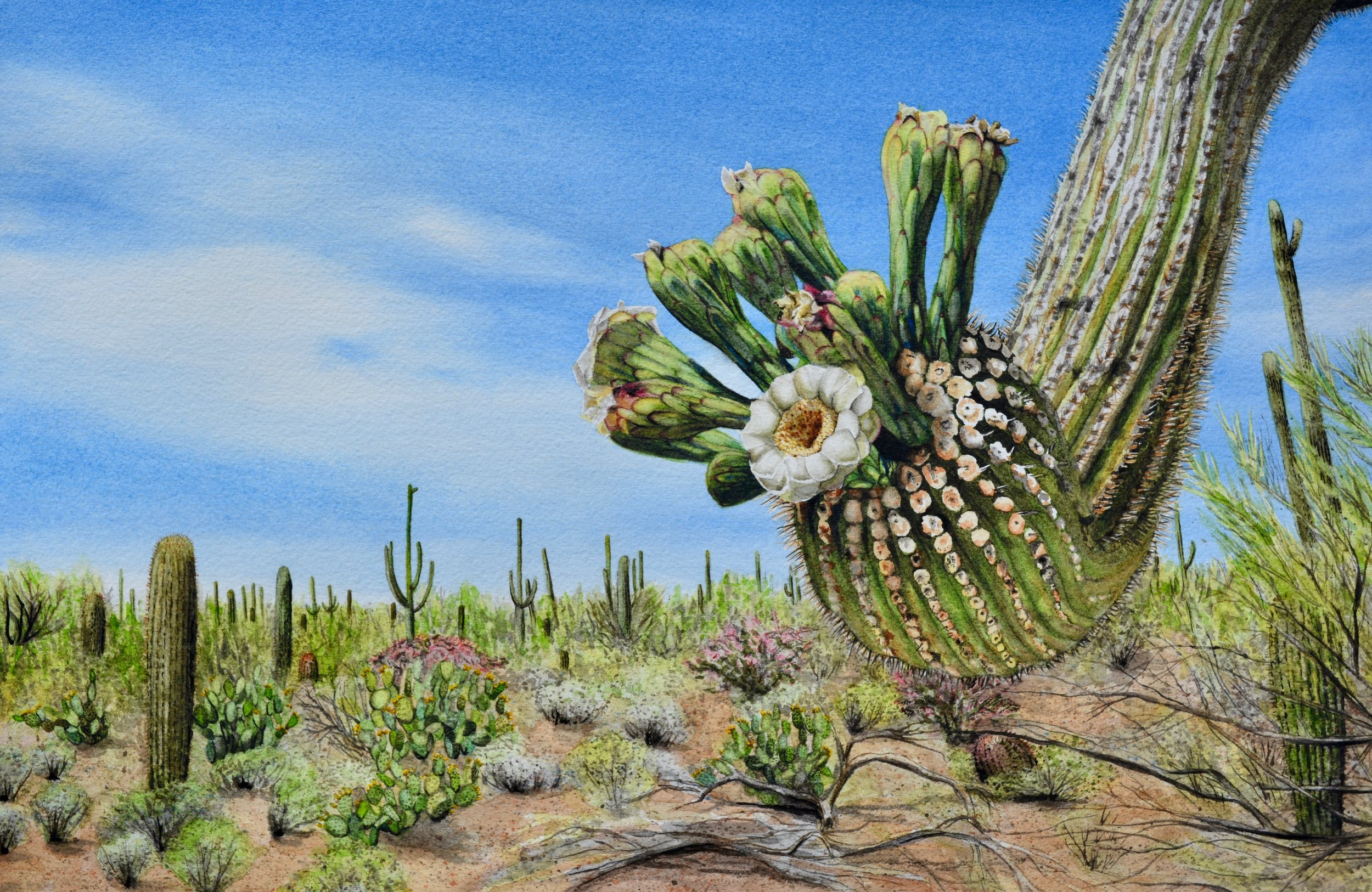 """Sonoran Suitor""  For sale  as of this blog posting"