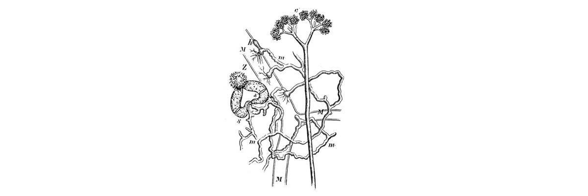 Mycelia_of_Piptocephalis_Freseniana.jpg