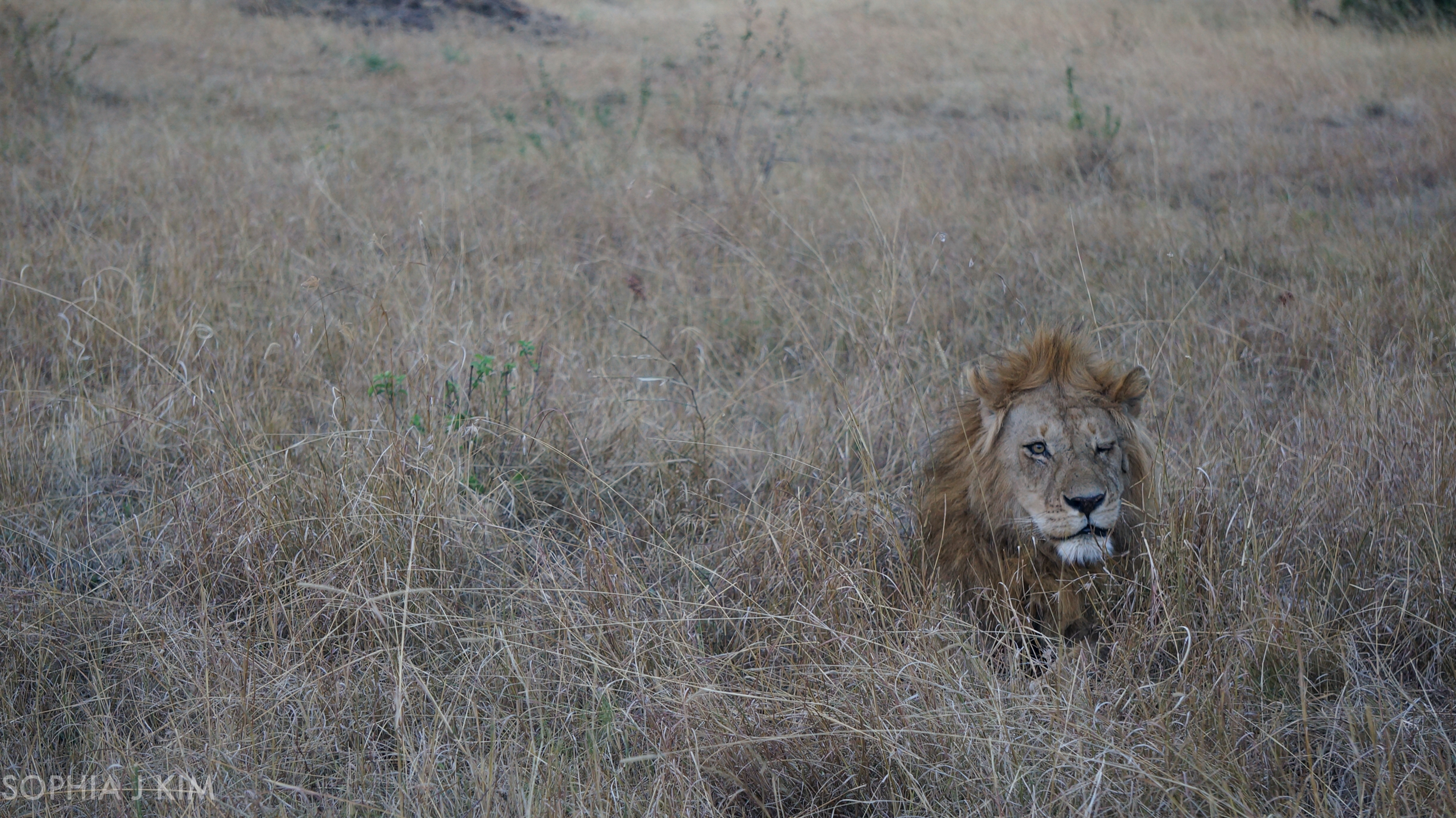 Solo Lion Resting After Mating