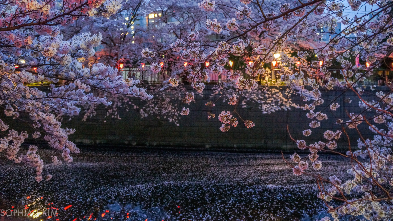 Moonlight Sakura, Tokyo, Japan