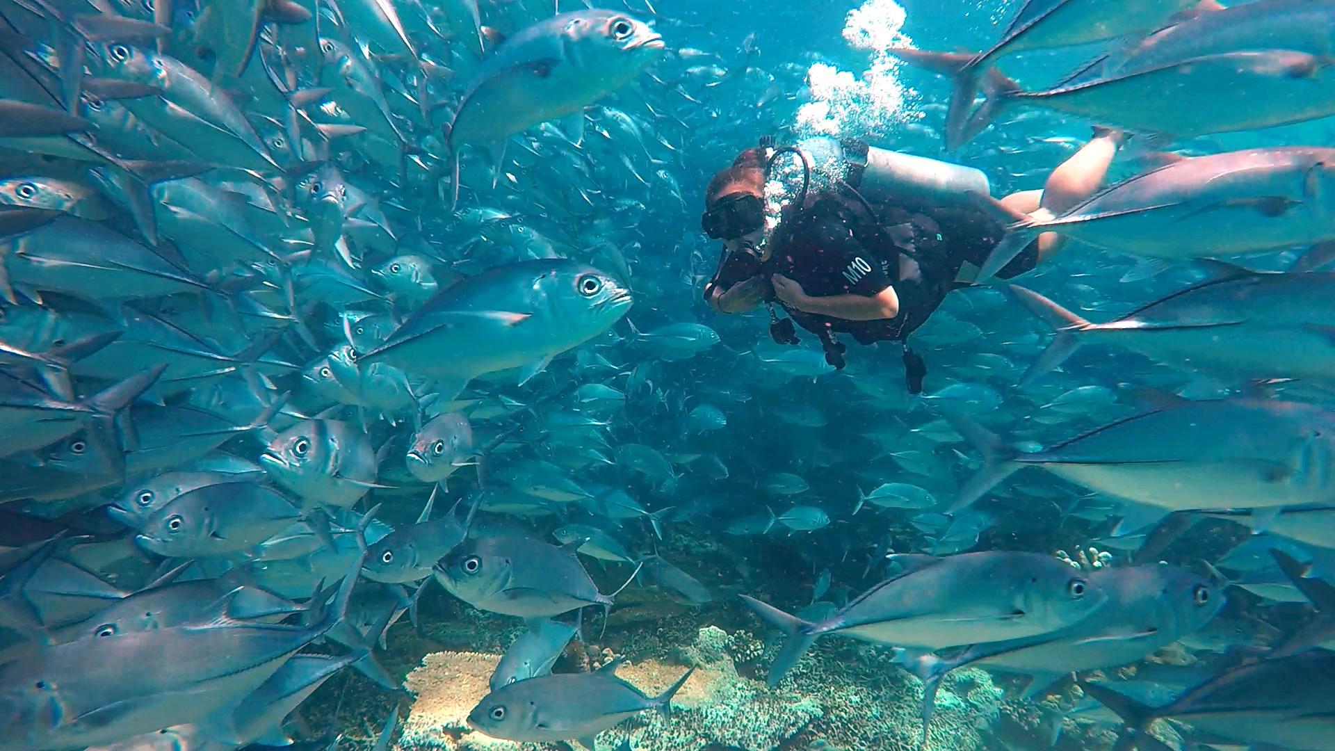 Swimming through a School of Jackfish, Sipadan, Malaysia
