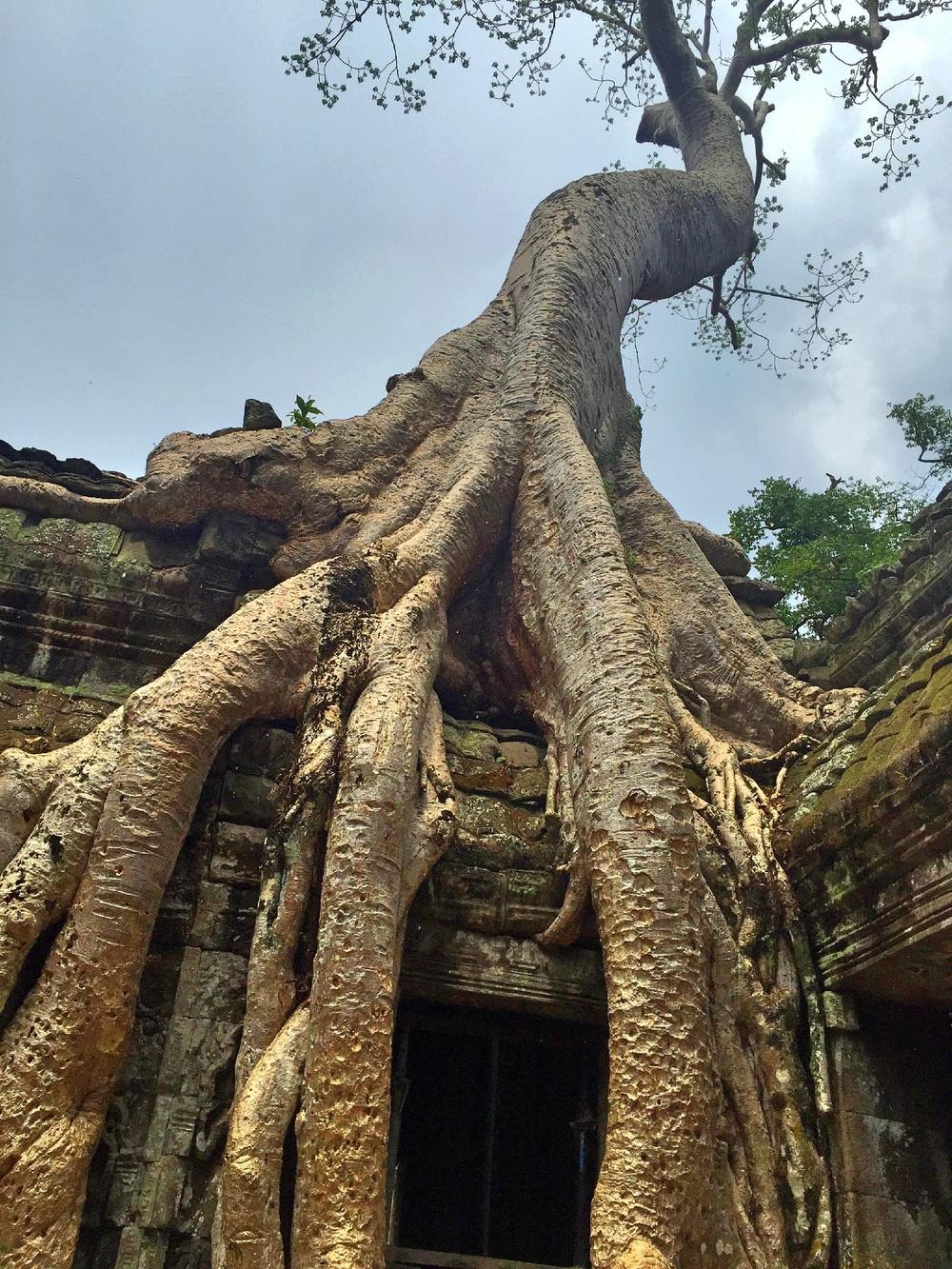 Golden Trees, Angkor Wat, Cambodia