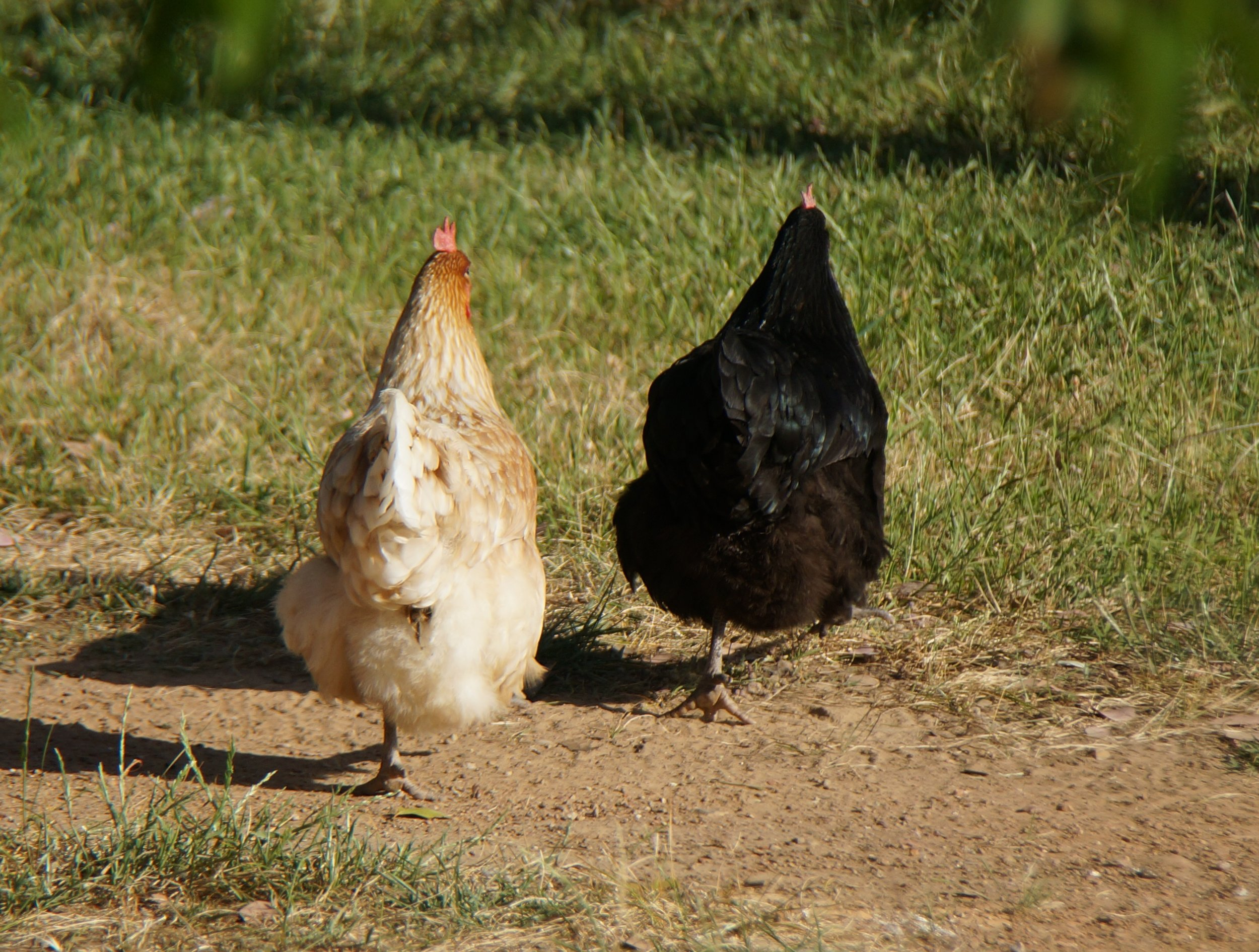 Mixed breeds of chickens
