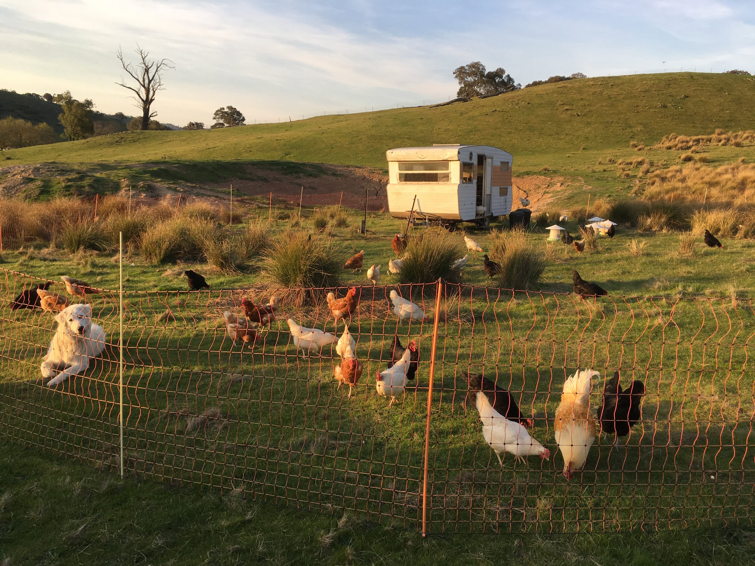 Sylvie one of our Guardian Maremmas with her chickens and their caravan