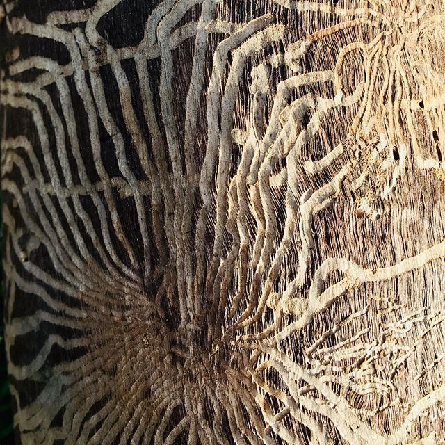 I love the trails that insects make on the surface of wood under the bark. These are on new strainer posts David has just put in as part of fencing off our main dam to protect an endangered ecological community. We'll be finished soon and will show you what we have done !  #hereathighfield #conservationfarming #farmingwithhabitat #smallfarm #nature #smallfarmlife #ecofarm #ecolife #farmlife  #knowyourfarmer #slowfarming  #gundagai #tumut #adelong #snowyvalleys #nsw #visitnsw #tourismnsw #visitriverina #visitsnowyvalleys #snowyvalleysalwaysinseason  #myriverinamurray #destinationnsw