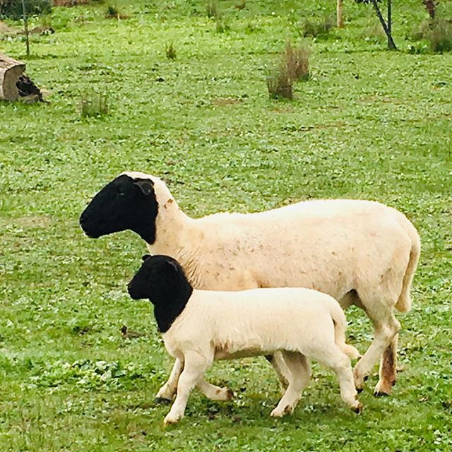 Mum and Bub, shoulder to shoulder. Dorpers are fantastic mums. No abandoned lambs this year, sturdy big lambs doing so well despite the continued drought. #hereathighfield #conservationfarming #farmingwithhabitat #smallfarm #nature #smallfarmlife #ecofarm #ecolife #farmlife  #knowyourfarmer #slowfarming #dorpers #dorpersheep  #gundagai #tumut #adelong #snowyvalleys #nsw #visitnsw #tourismnsw #visitriverina #visitsnowyvalleys #snowyvalleysalwaysinseason  #myriverinamurray #destinationnsw