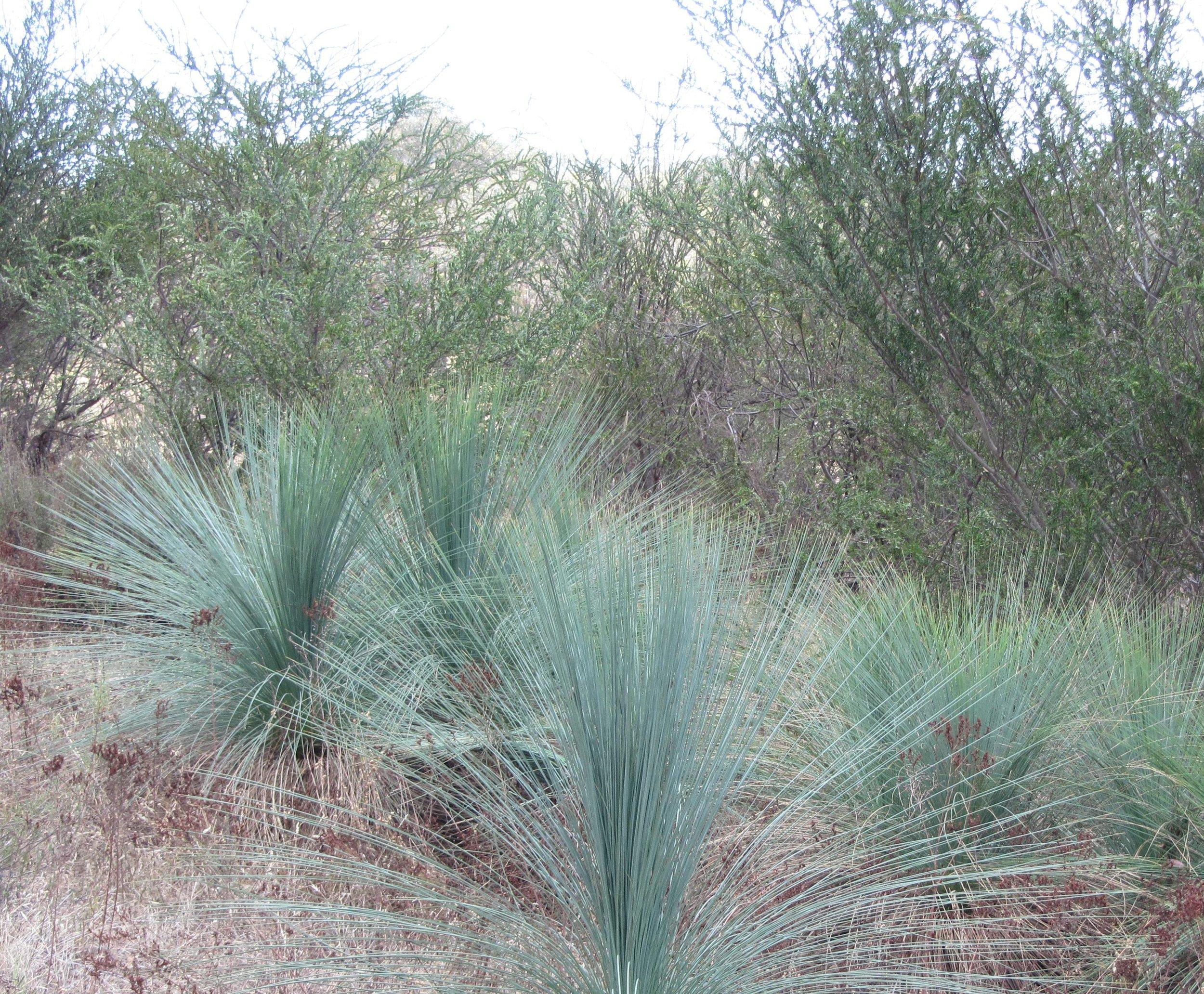 Acacia paradoxa with Grass Trees