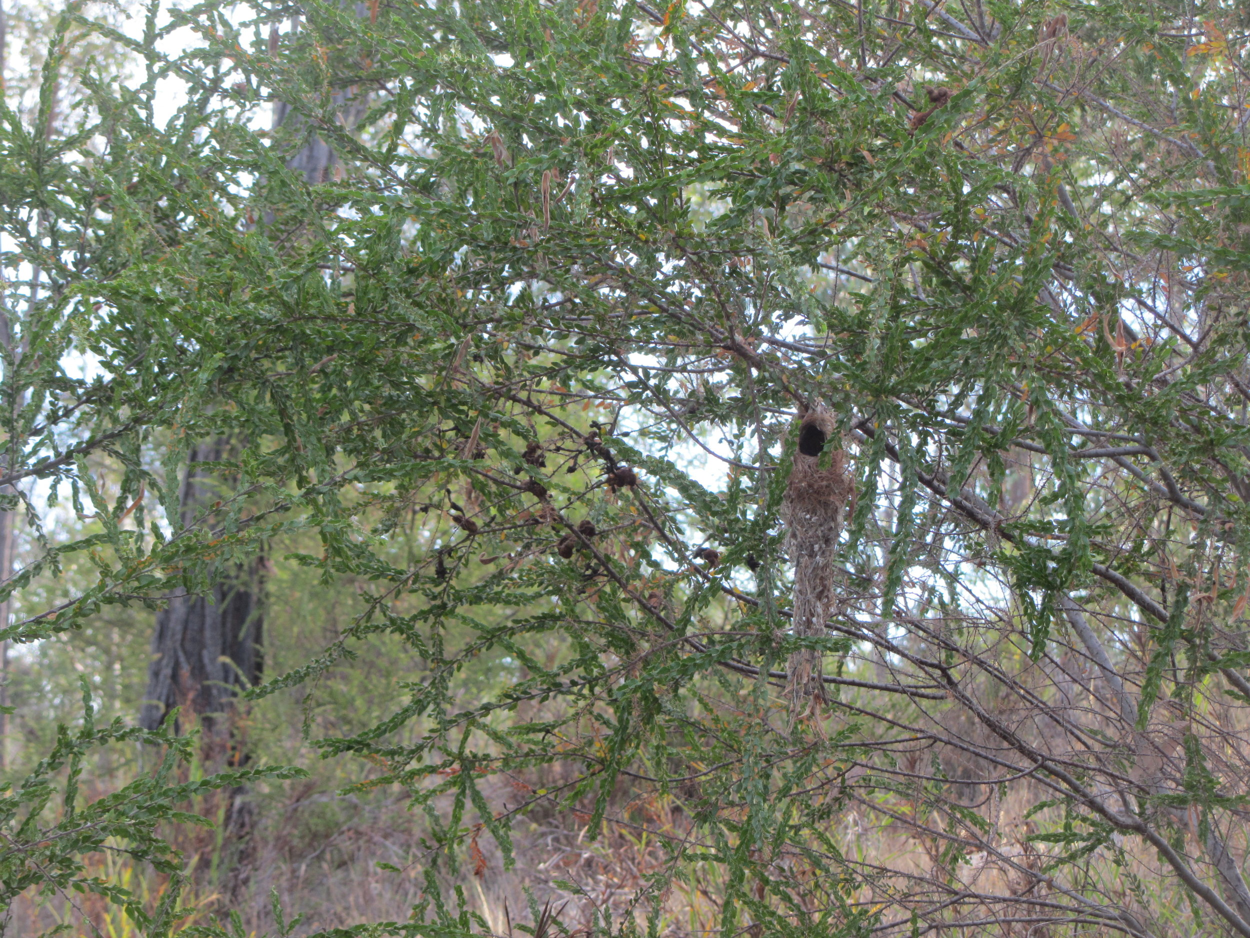 Western Gerygone nest in Acacia paradoxa