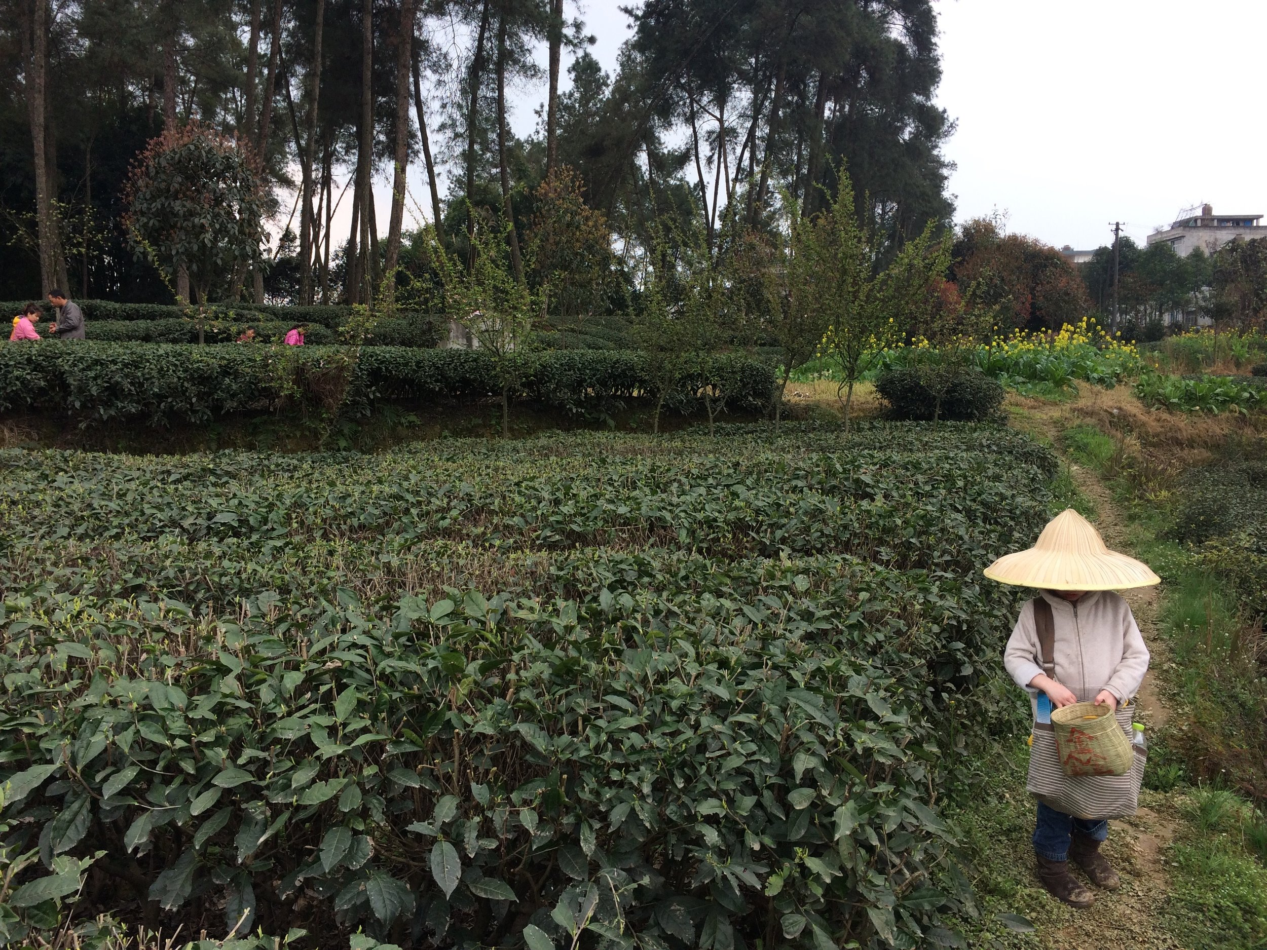 Tea picking.