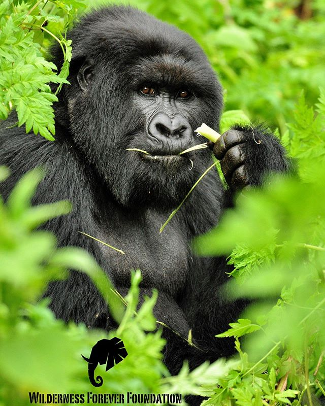 Great apes week: as we stepped into 2019 mountain gorillas enjoyed a reclassification of their population status- from critically endangered to endangered. Although still in need of intense conservation efforts, this achievement demonstrates how mankind can protect a species and it's habitat, preventing its demise.  Poaching, deforestation,  habitat loss the threat from resource exploitation such as oil continue to plague their home. For now, conservationists, Central African countries and tourists all deserve a massive thank you for their perseverance.  #conservation #mountaingorillas #mountaingorillasofrwanda #mountaingorilla #gorilla #wildlifephotography