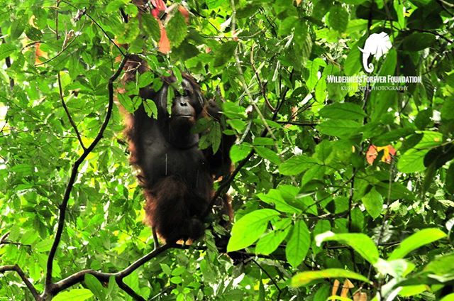 Great ape week: a male orangutan ponders his next move as he moves from one delicious tree to another in Borneo.  South-east Asian forests have seen cataclysmic rates of deforestation, hunting and the abductions for the pet trade. A report last year demonstrates that the population of Orangutans has dropped by 160,000 in 16 years. A disastrous statistic that we are all responsible for.  BUY SUSTAINABLE WOOD, AVOID UNSUSTAINABLE PALM OIL PRODUCTS- READ THE INGREDIENTS OF ALL PROCESSED FOODS AND SPREAD THE WORD