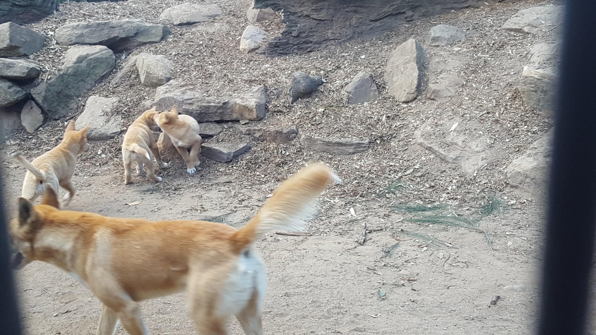 The Dingos