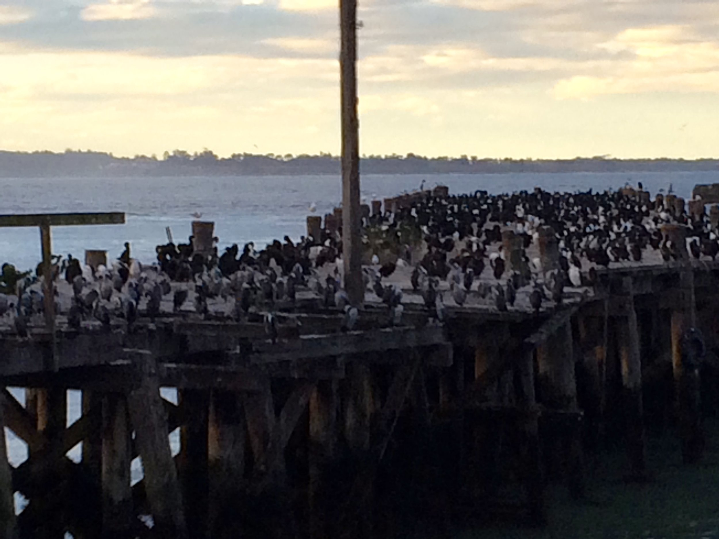 Birds on the pier outside the penguin site