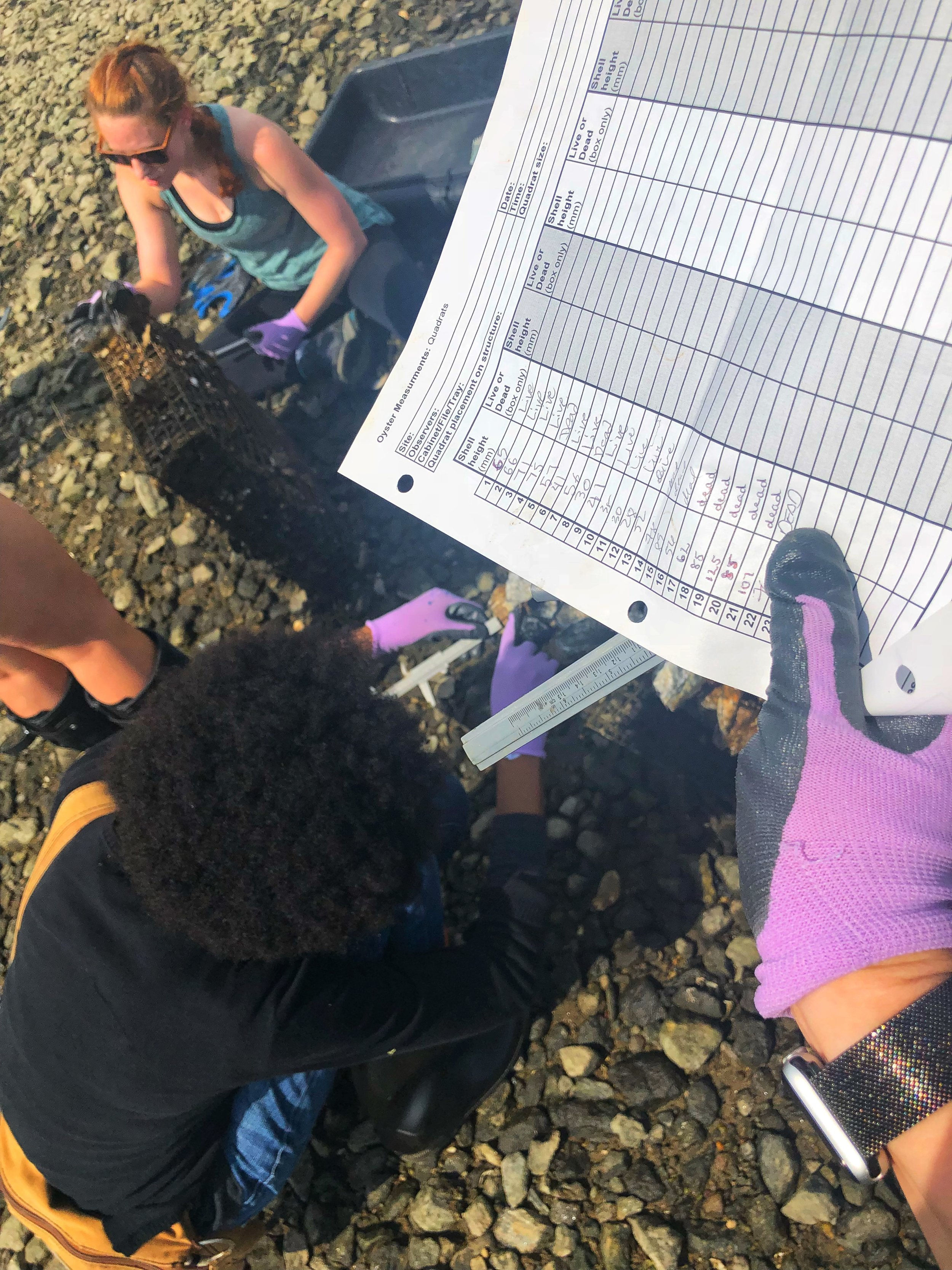 Measuring oysters.
