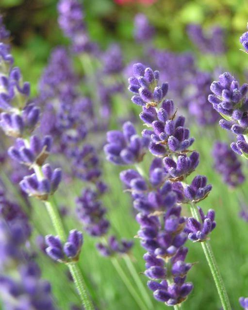 Beautiful-Lavender-flowers-34658218-511-638.jpeg