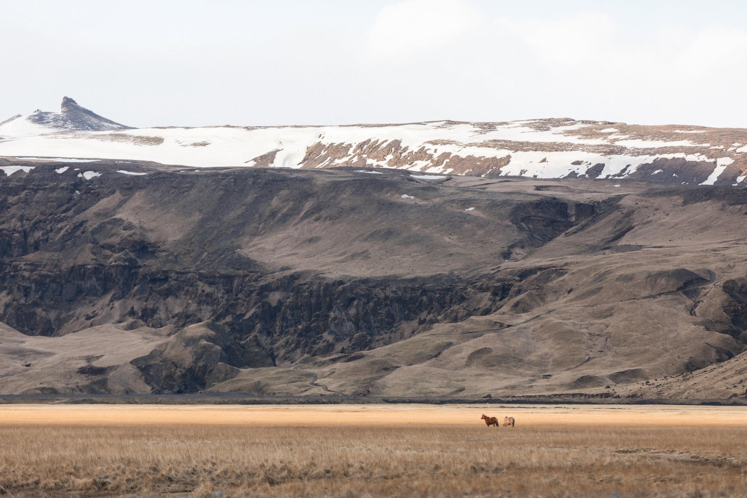 Icelandic Horses | South Iceland - Faune
