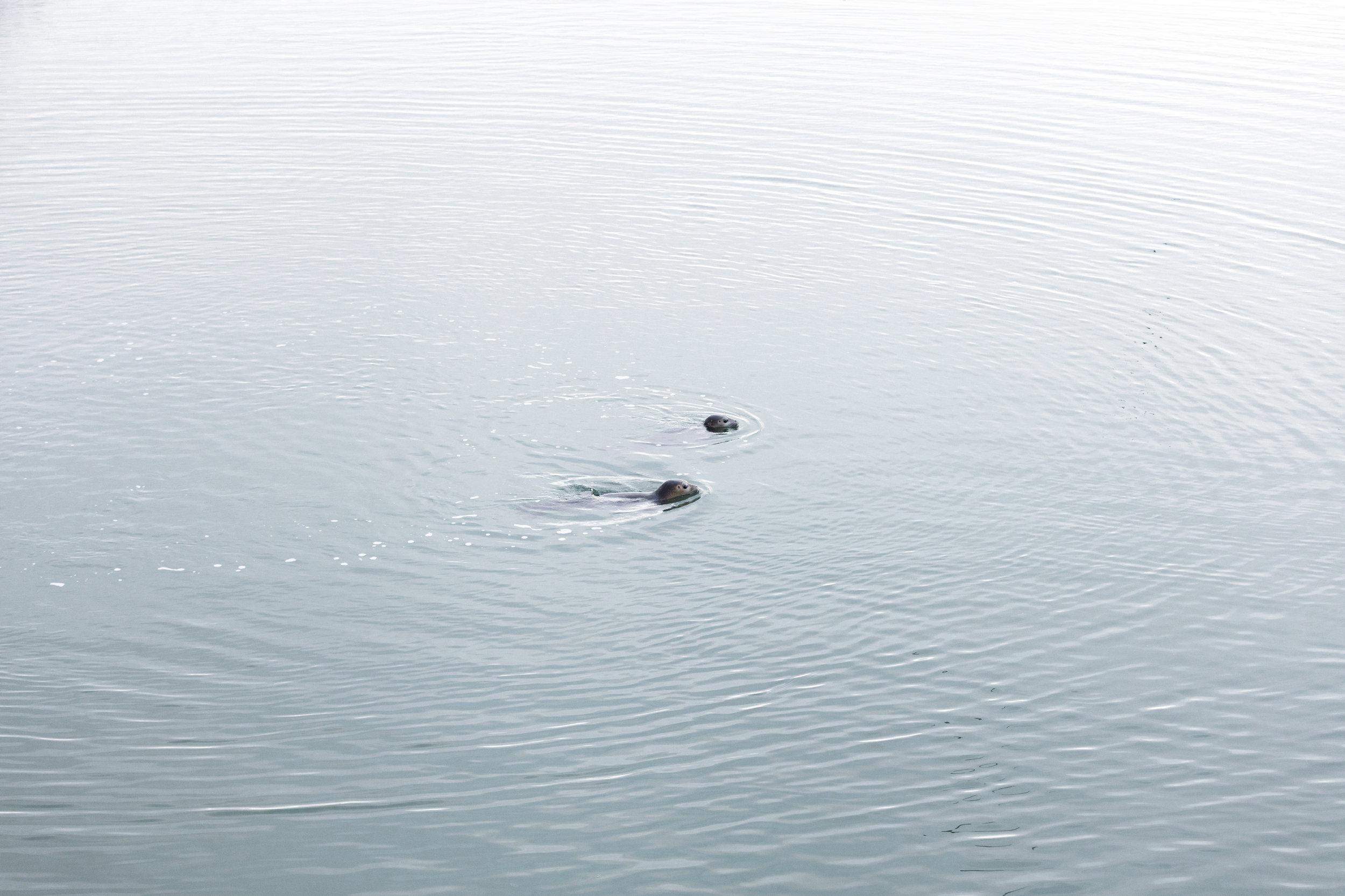 Seals at the Jökulsárlón Glacier Lagoon | South Iceland - Faune