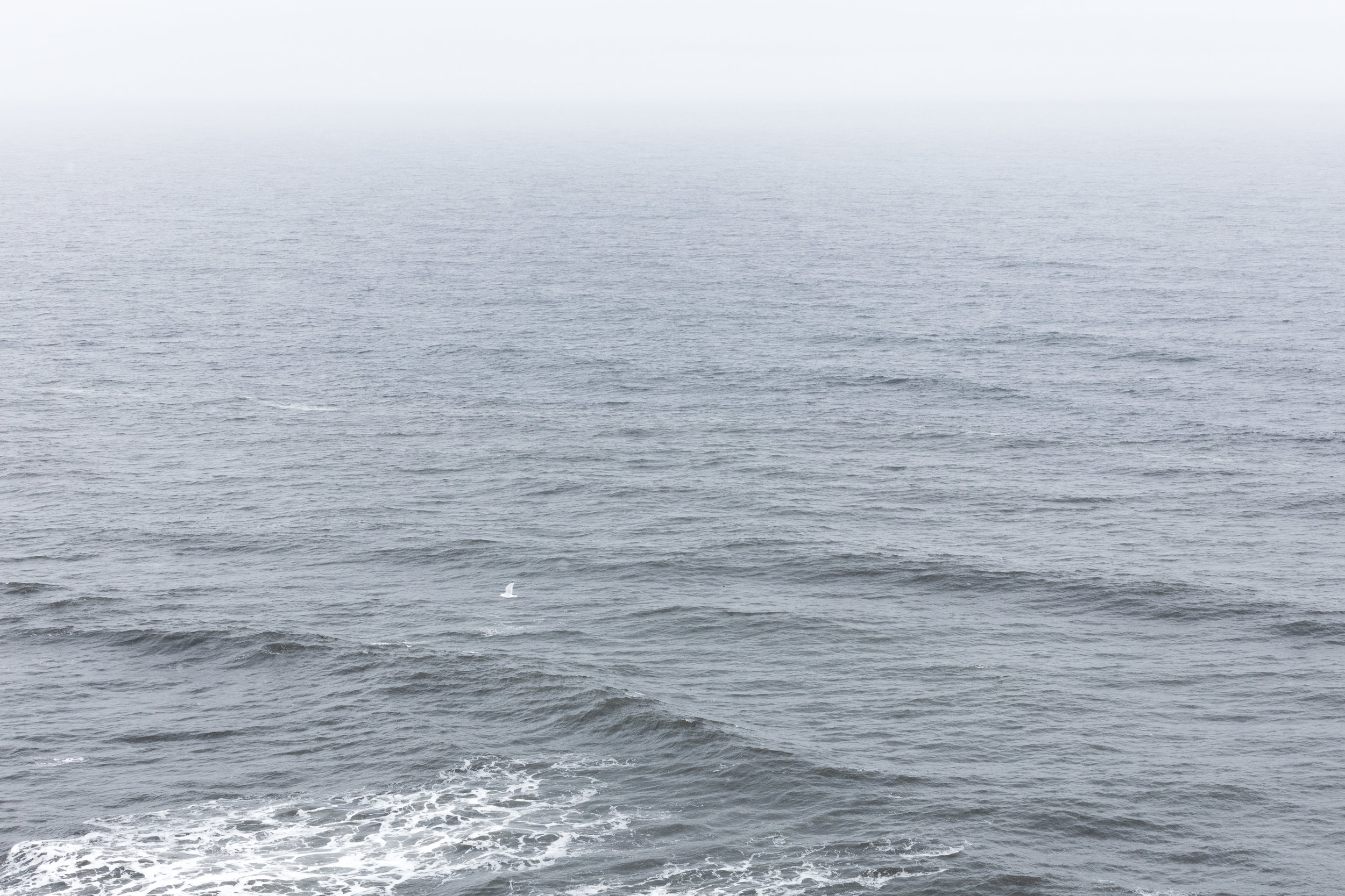 An arctic Tern flies over the swaying ocean | East Iceland - Faune