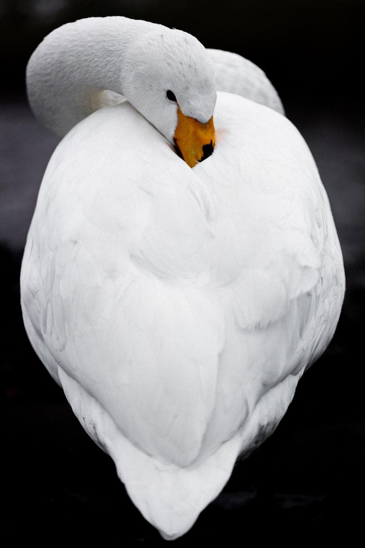 Portraits of a Swan - Hokkaido, Japan | Faune Magazine