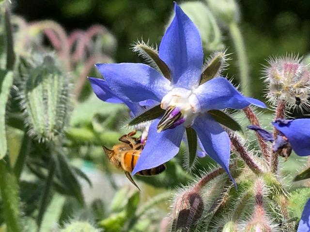 One of Timothy Merton's honey bees on a borage flower. Putney, VT