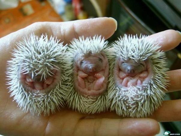 porcupine babies.jpg