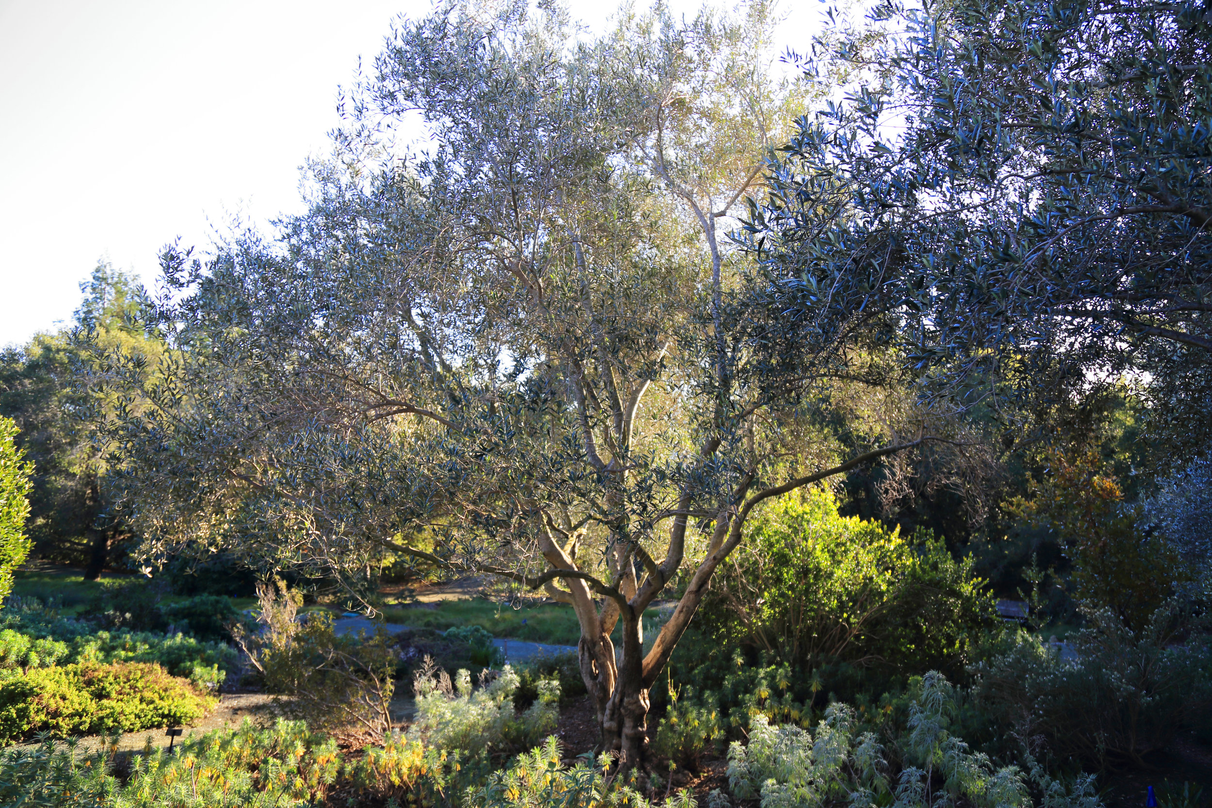 The olive grove anchors the Mediterranean Garden.
