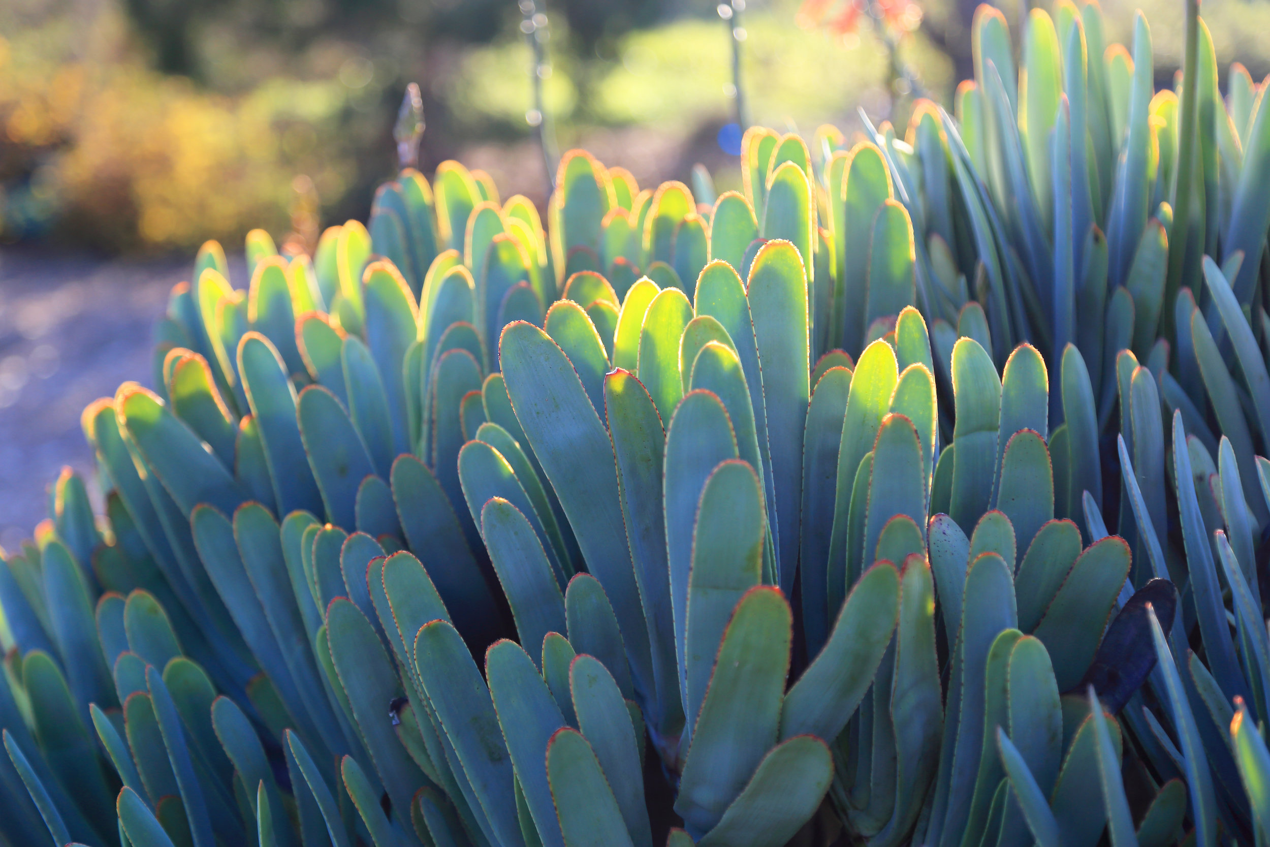 Aloe plicatilis in the South African Garden