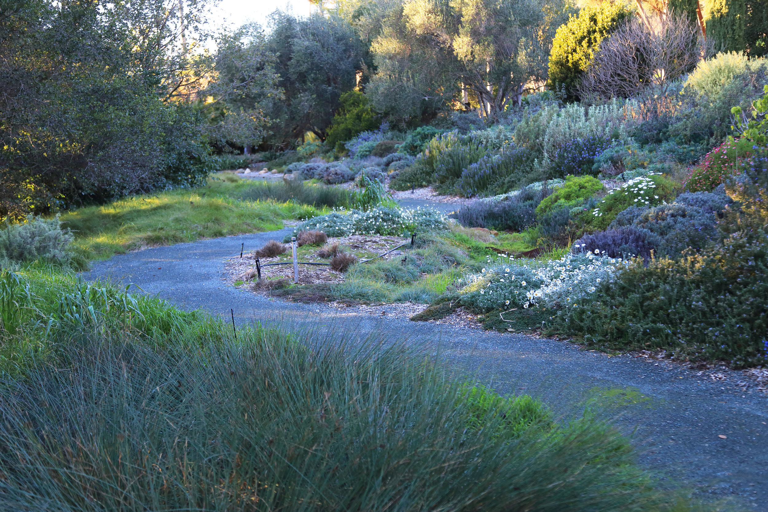 The main pathway, flanked by California and Mediterranean natives