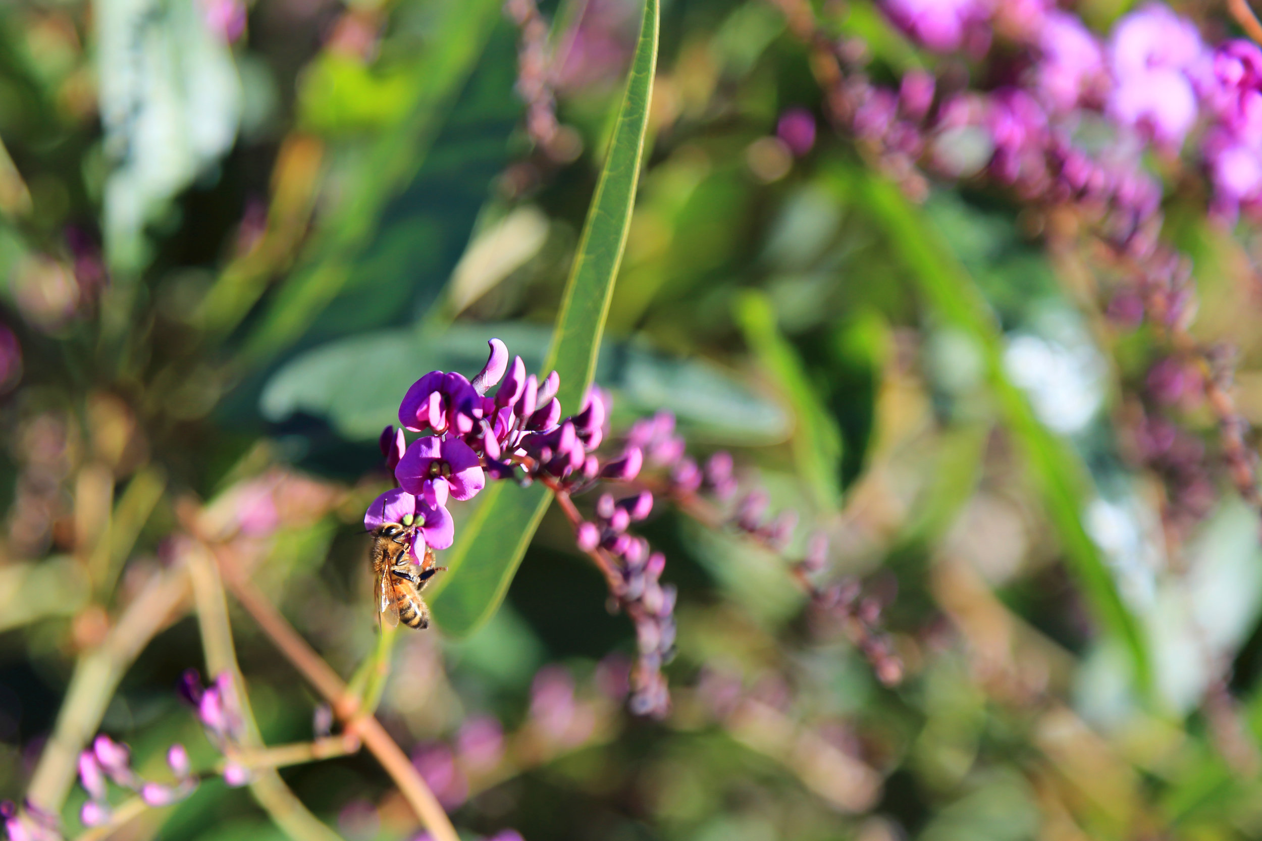 A honeybee visits a Hardenbergia blossom in the Australian Garden