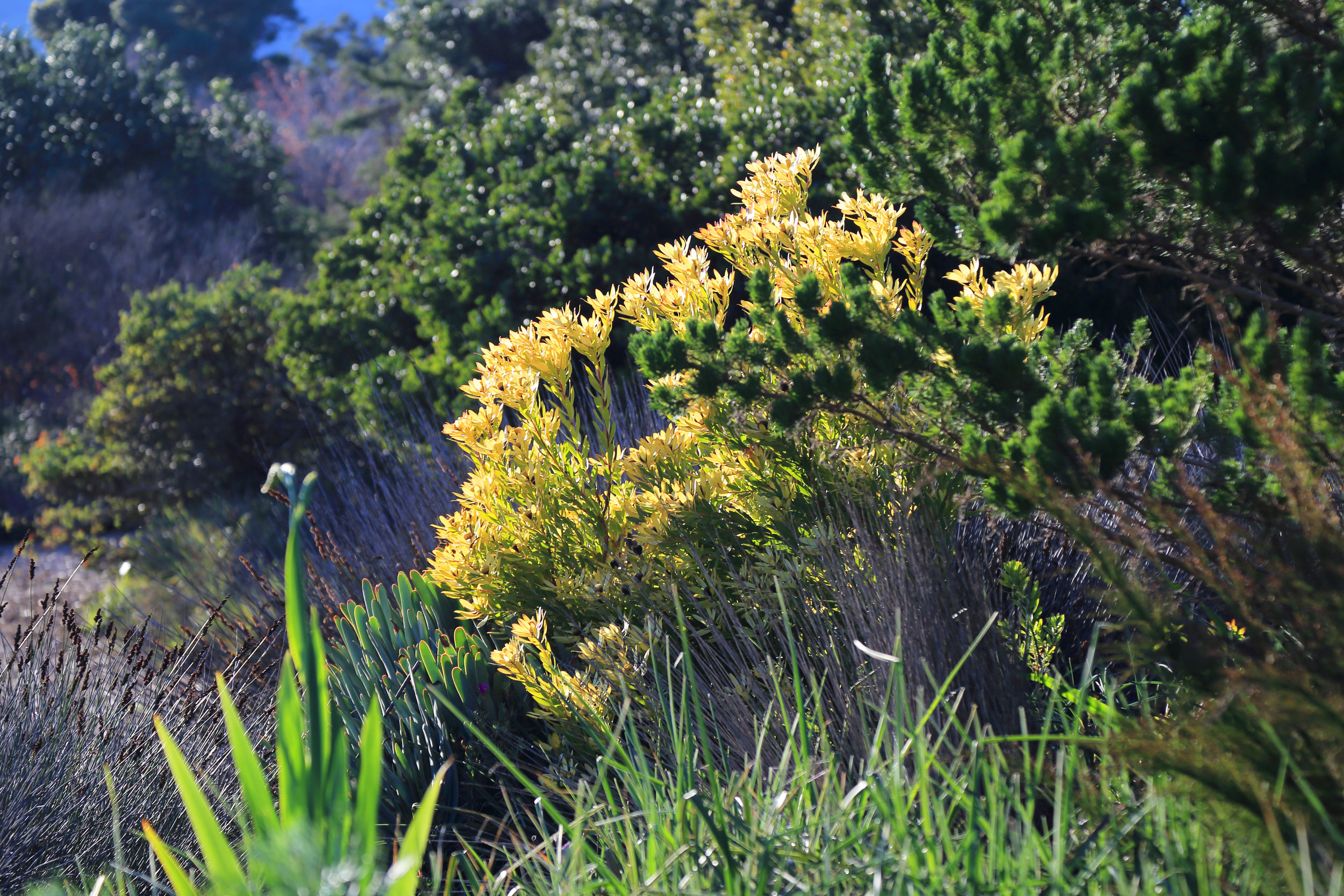 Glowing Leucadendron bracts, from South Africa