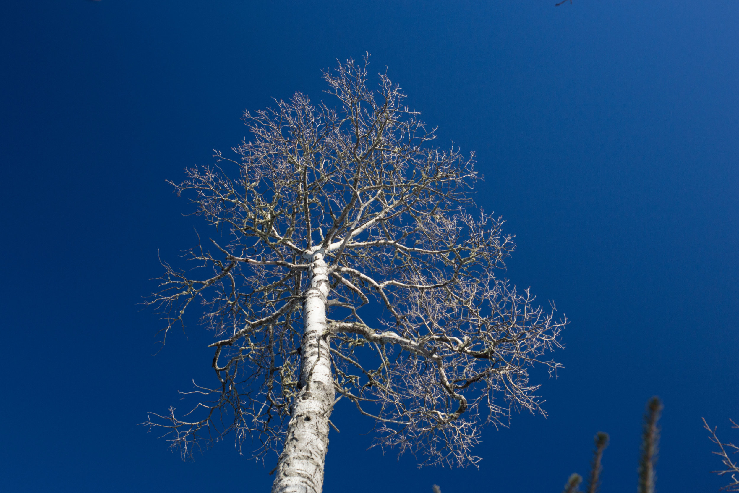 and a birch tree top...