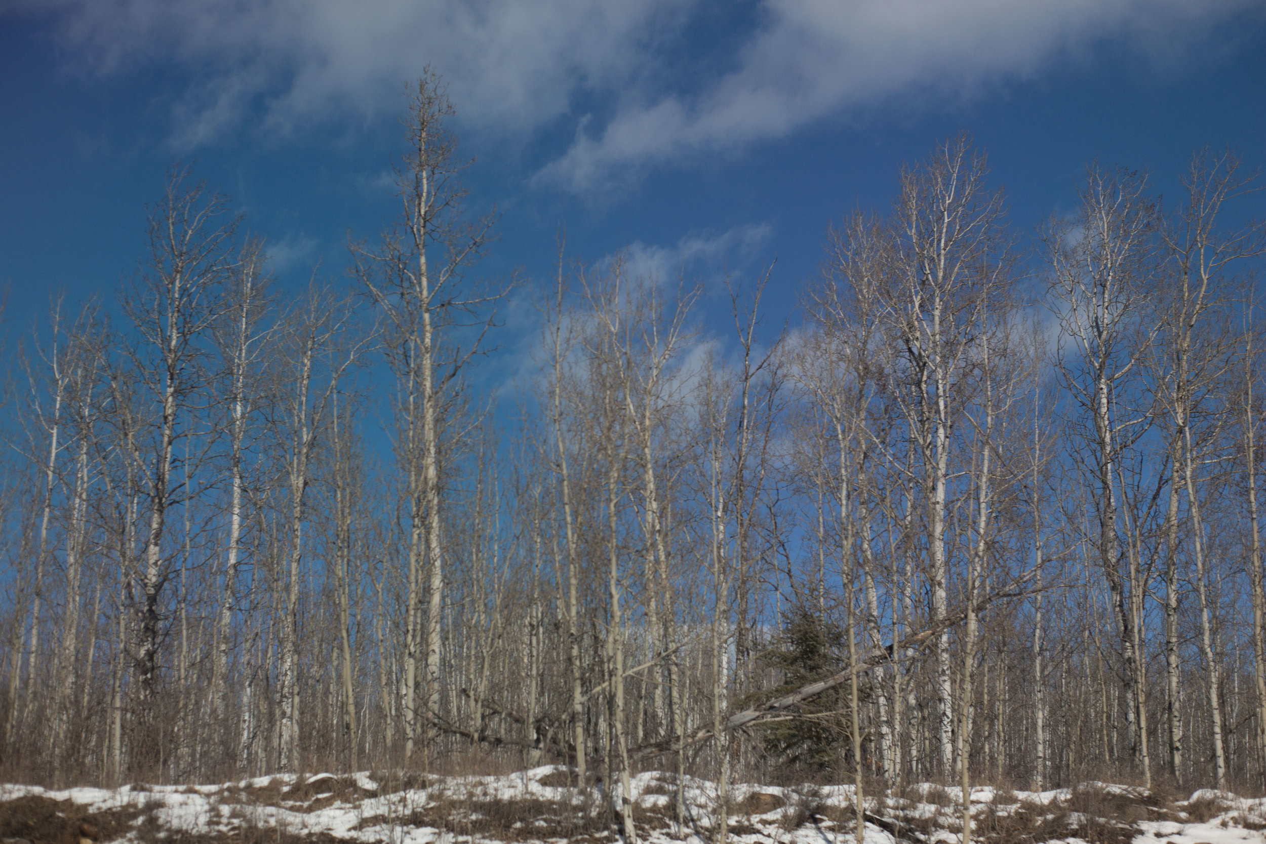yep, more birch trees.
