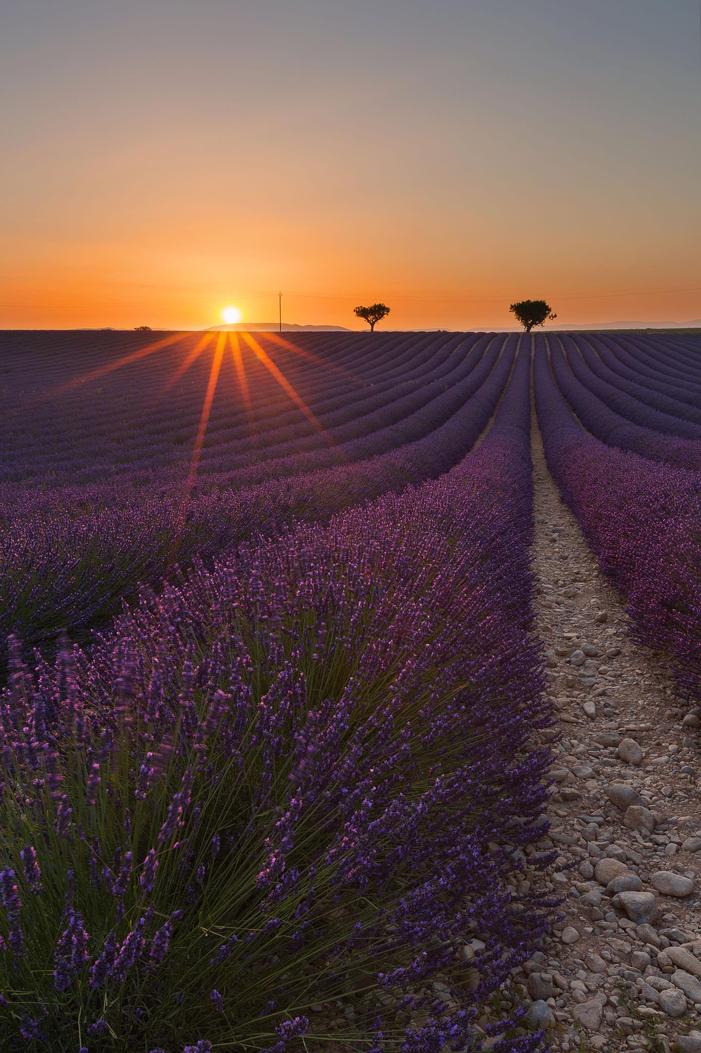 Lavender Sunburst.jpg