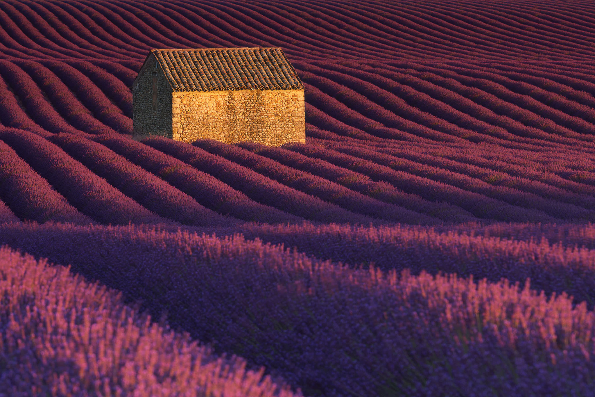 Valensole-rows-of-Lavender2.jpg