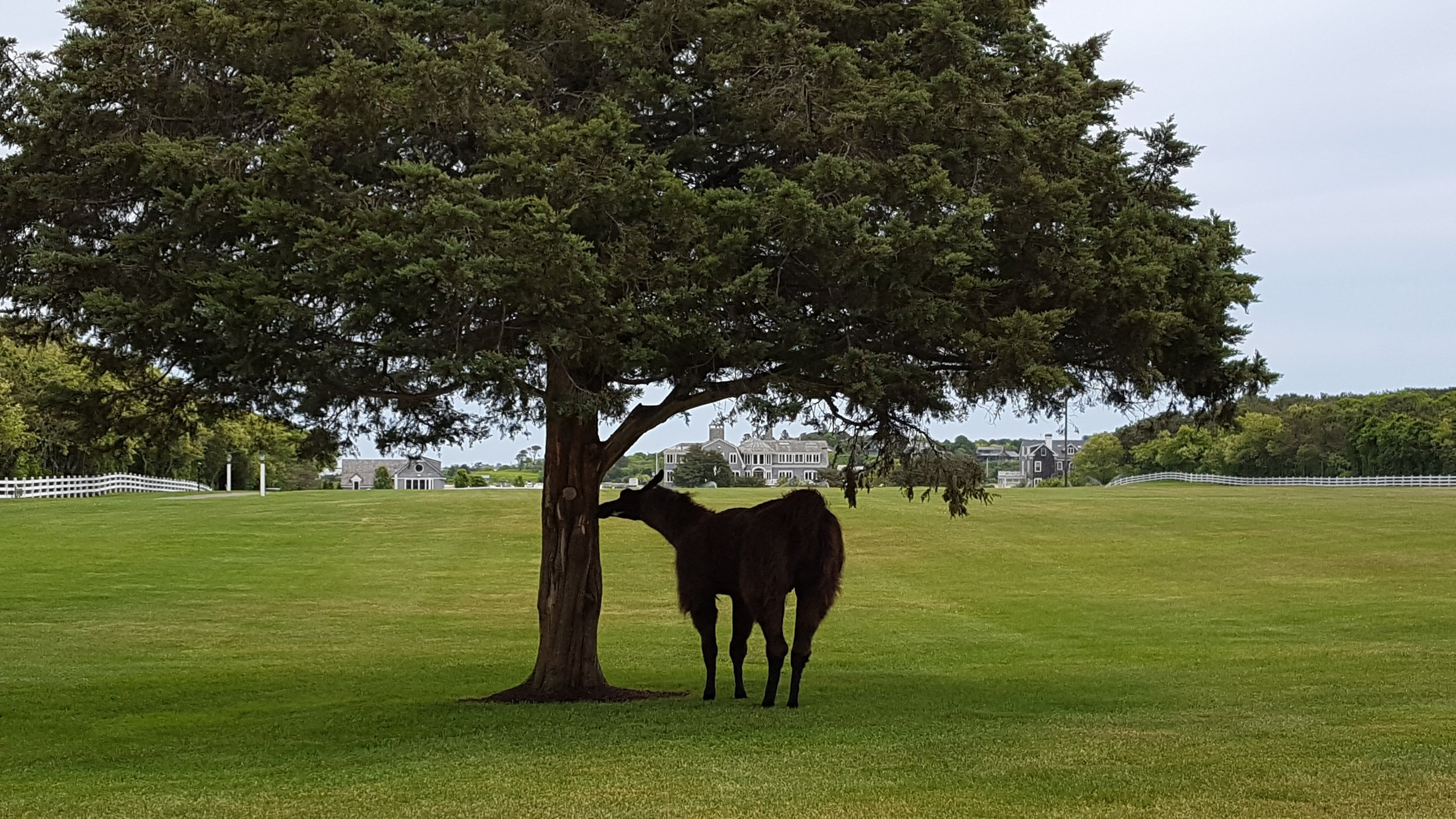 The llamas at Ernie Boch's seaside mansion