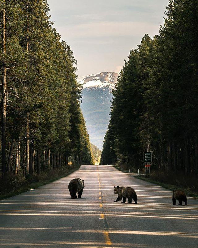 Banff's beautiful wildlife 🌲 #gridlesslife 🌲 . Photo Credit 📷 by @ryan.purdy •••••••••••••••••••••••••••••••••••••••••••••• . . . . #adventure  #explorealberta  #explorecanada  #gridlessvibes  #banff  #landscape  #banffnationalpark  #banffpark #livefree  #natureaddicts  #thegreatoutdoors  #thestoked  #wildandfree  #getoutside  #exploremore  #liveoutside  #livelovecanada  #exploreCanada  #wanderlustofcanada  #oh_canada_  #paradisecanada @natgeo  @banff_lakelouise  @visit.banff