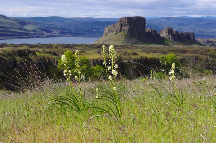 Panicled%20death-camas%20%28Zigadenus%20paniculatus%29%20and%20Horsethief%20Butte%2C%20The%20Dalles%20Mountain%20Ranch.jpg
