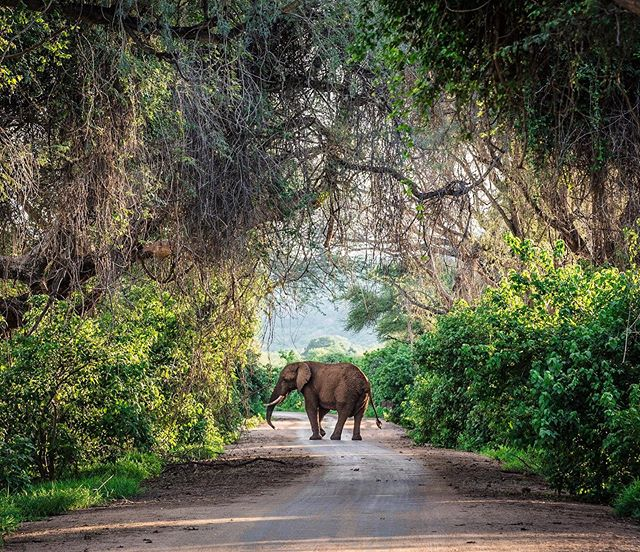 This was the last photo I took in 2016 and it has remained one of my favorites ever since. We were standing on a bridge in the remote Northern part of Kruger NP, watching elephants drinking and bathing in the Luvuvhu river below us. Suddenly, we heard loud cracking on our left and, as we turned, this beautiful bull broke out of the thick bush and emerged onto the road. For a brief moment he just stood there, as if he too was struck by the enchantment of the scene that he found himself in: with the warm evening light breaking through the canopy, the liana vines hanging from above seemed to frame the elephant into a masterfully crafted Renaissance painting. I took a breath, pressed the shutter, and the elephant disappeared back into the bush - as quickly and gracefully as he had emerged. Happy to have shared this moment with @daniichen @v_andonova and my Dad ❤️ during our time at @theoutpostlodge