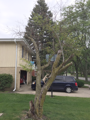 The crabapple tree moments before its removal. Note the wooden bear climbing the trunk.