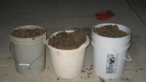 No Loitering. Buckets of cicada exuviae shoveled up from under the crabapple tree.