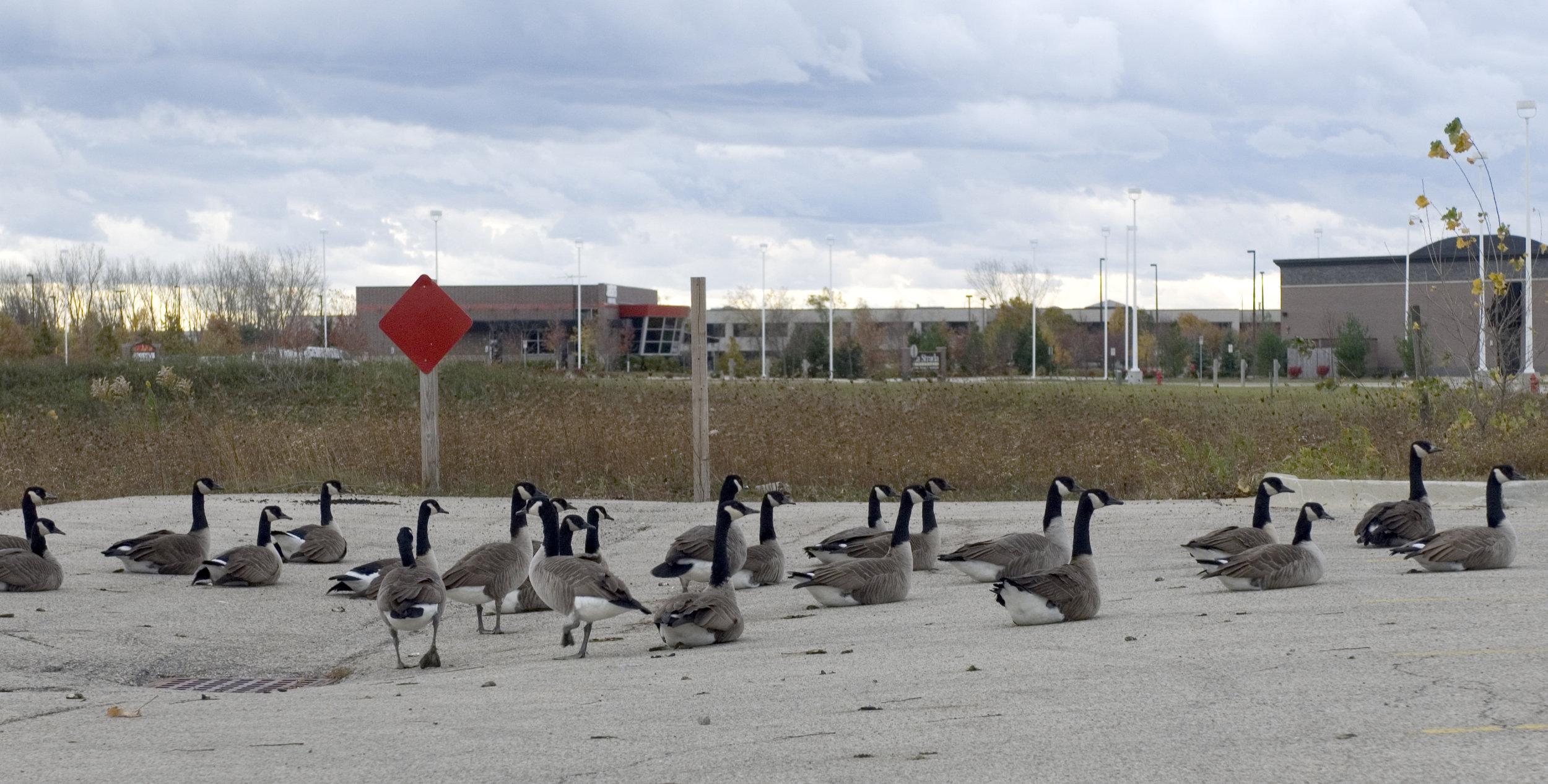There will still be geese. Not these particular geese, though.  They'll all be killed in a Navy Pier Ferris Wheel accident.