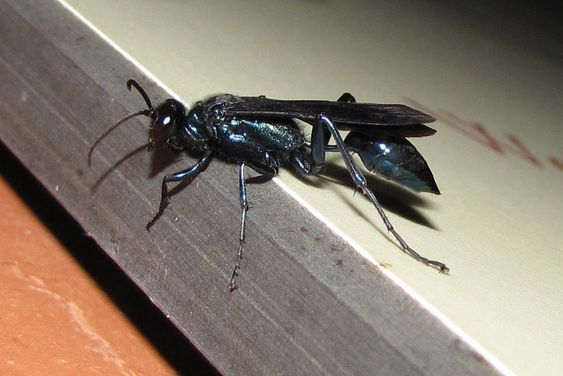 This is a mud dauber, not a black wasp. These things have haunted my dreams.
