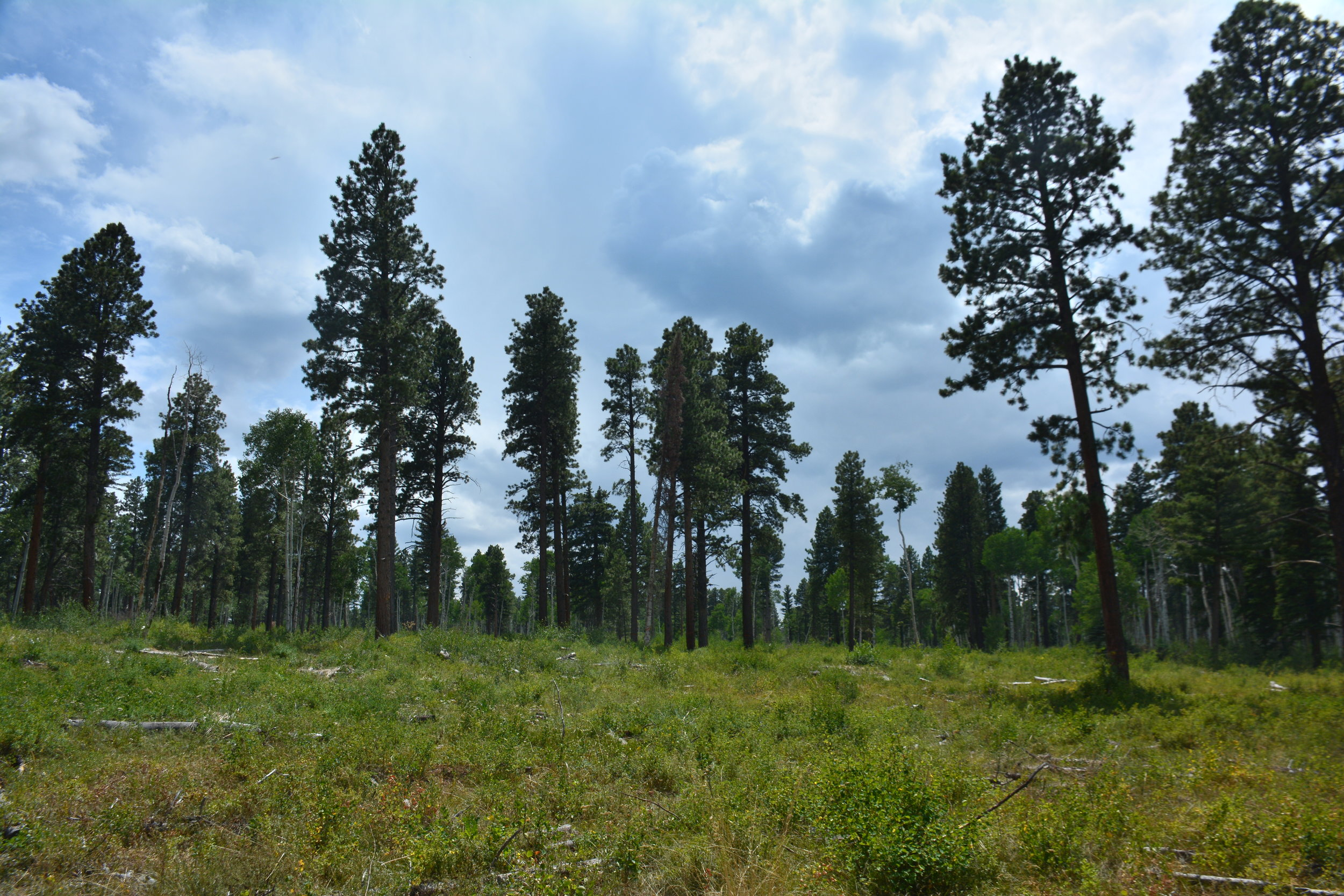 An overly-dense forest was thinned to reduce the danger of catastrophic wildfire and to improve wildlife habitat.