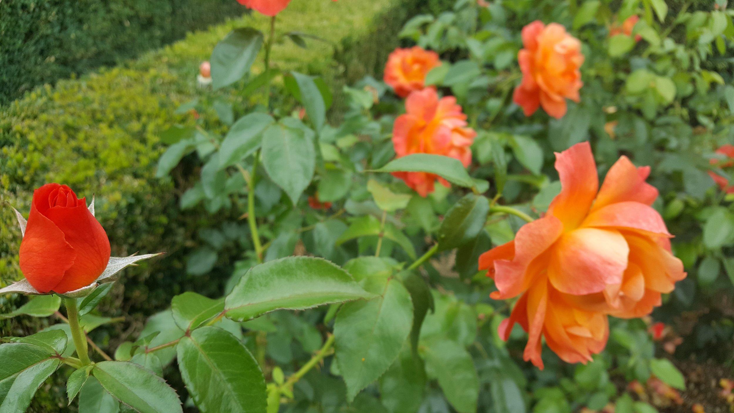 rose garden 5.jpg