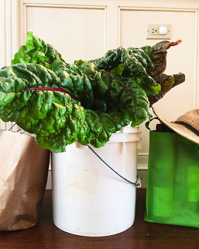 Friendship comes in many forms...for sure, one is bringing a bucket of homegrown monster swiss chard and vino.  Cheers to friends who's priorities are 💯! Happy weekend y'all! 😎  #chard #homegrownveggies #sharingiscaring #eatmoregreens